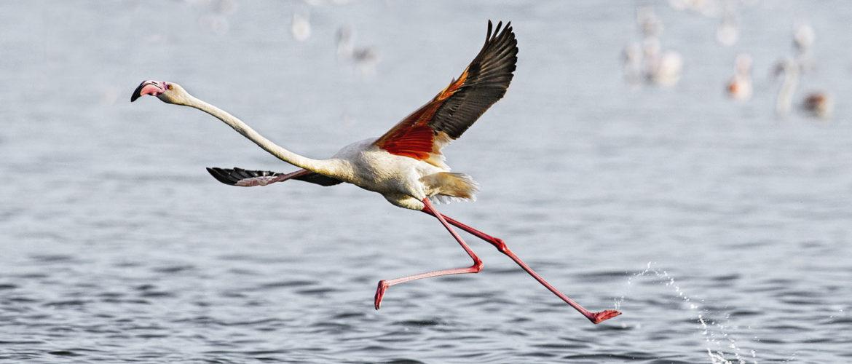 Lake Magadi, Flamingo