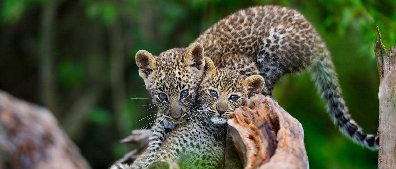 Cheetah cubs on Maasai Mara